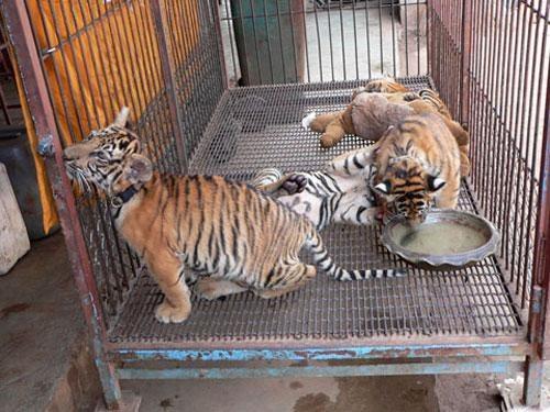 Но в тот же день крестьяне нашли в лесу ещё трех крошечных тигрят, которые умирали с голоду. Тигрят принесли в храм, где их выкормила местная собака.